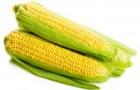 Сорт кукурузы: Харьковская 126 мв