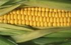 Сорт кукурузы: Харьковский 24 м