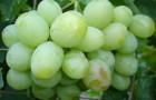 Сорт винограда: Хрустящий