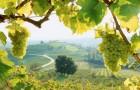 Сорт винограда: Италия