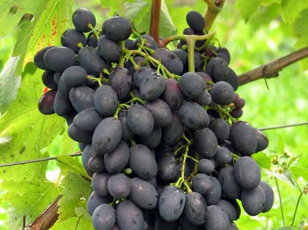 Сорт винограда: Каберне азос