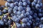 Сорт винограда: Каберне фран