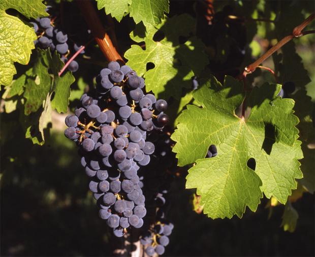 Сорт винограда: Каберне совиньон