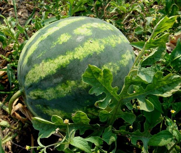 Сорт арбуза: Кадия   f1