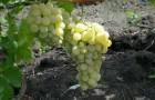 Сорт винограда: Карабурну