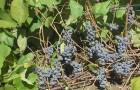 Сорт винограда: Карагай
