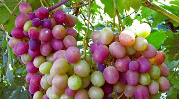 Сорт винограда: Карамол