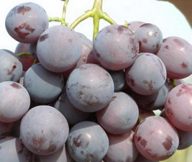 Сорт винограда: Кардинал