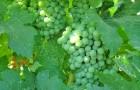 Сорт винограда: Каспаровский