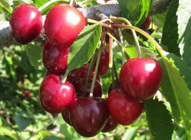 Сорт черешни: Кавказская