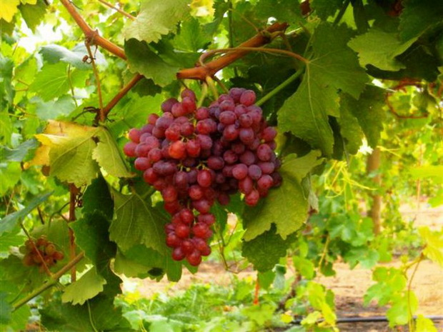 Сорт винограда: Кавказский ранний