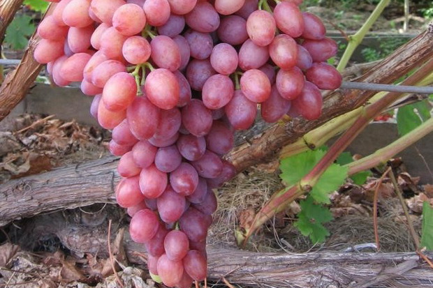 Сорт винограда: Кишмиш лучистый