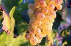 Сорт винограда: Клерет белый