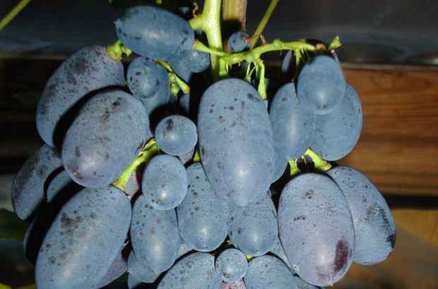 Сорт винограда: Кодрянка