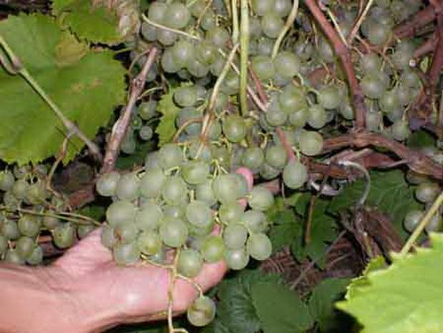 Сорт винограда: Краса севера