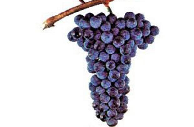 Сорт винограда: Красностоп золотовский
