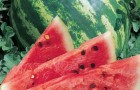 Сорт арбуза: Кримсон спринт f1