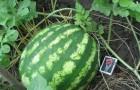 Сорт арбуза: Кримсон свит