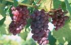 Сорт винограда: Крымчанин