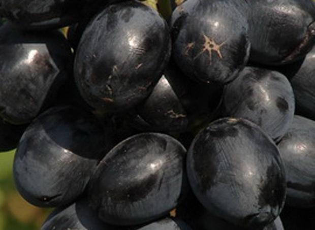 Сорт винограда: Кубанец