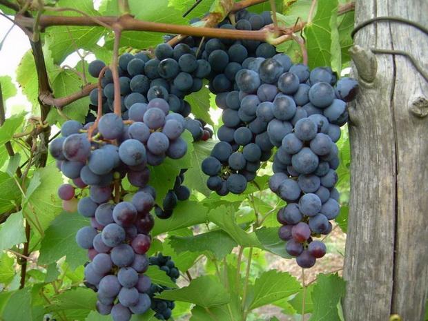 Сорт винограда: Левокумский