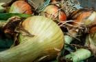 Ложная мучнистая роса или пероноспороз лука