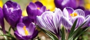 Луковичные и клубневые цветы