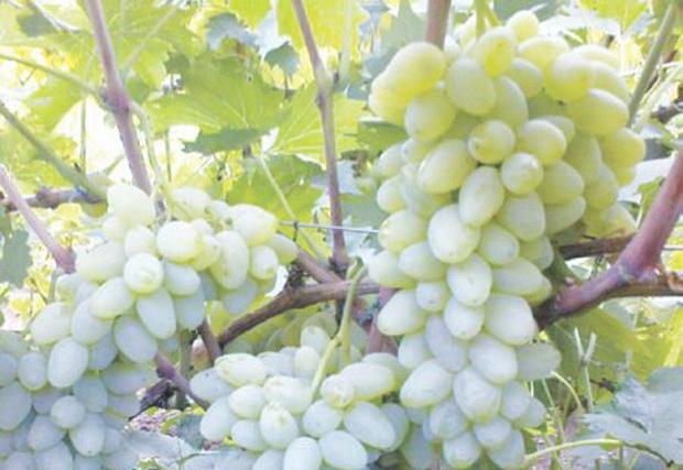 Сорт винограда: Ляна