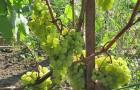 Сорт винограда: Мадлен ананасный