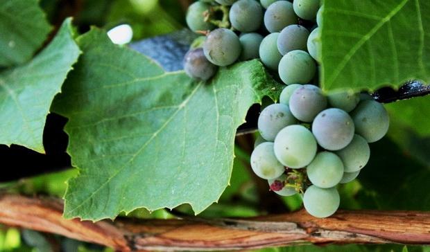 Сорт винограда: Маныч