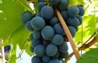 Сорт винограда: Маринка