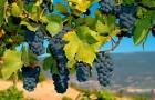 Сорт винограда: Мерло