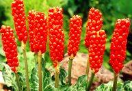 Многолетние растения для альпинария