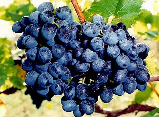 Сорт винограда: Молдова