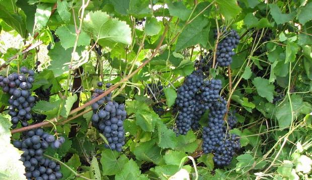 Сорт винограда: Московский черный