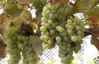 Сорт винограда: Мцване кахетинский