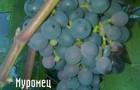 Сорт винограда: Муромец