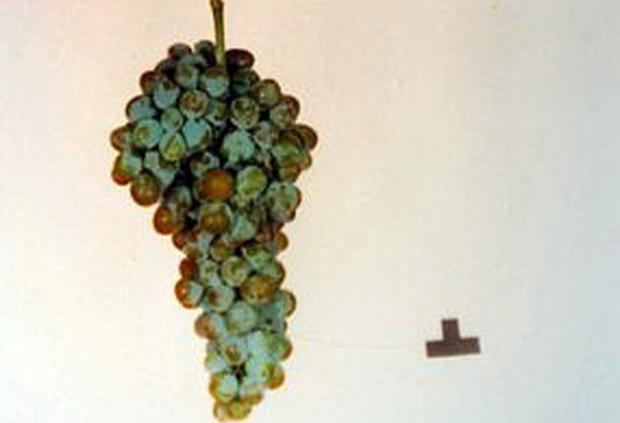 Сорт винограда: Мускат аксайский