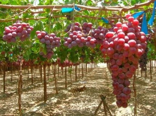 Сорт винограда: Мускат дербентский