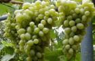 Сорт винограда: Мускат московский