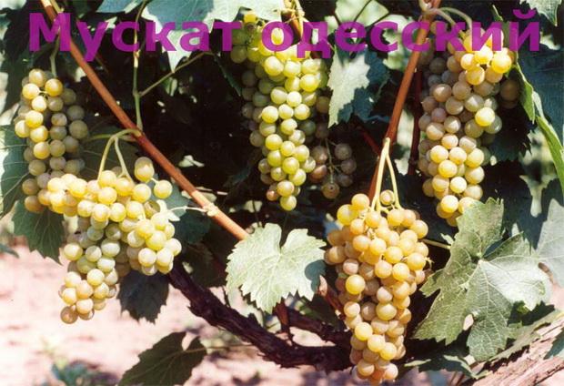 Сорт винограда: Мускат одесский