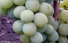 Сорт винограда: Мускат транспортабельный