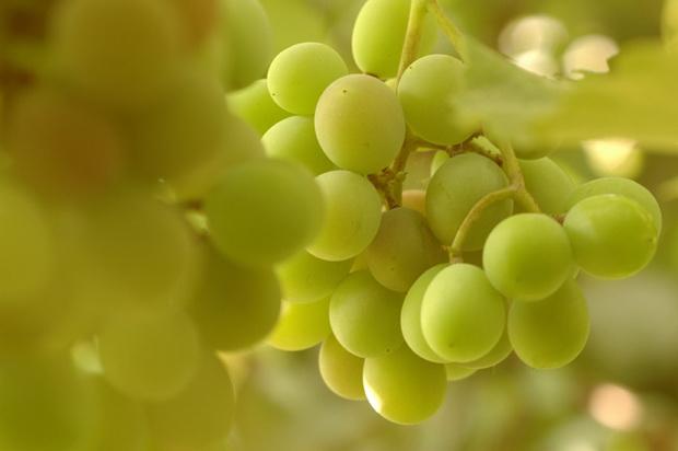 Сорт винограда: Мускат янтарный