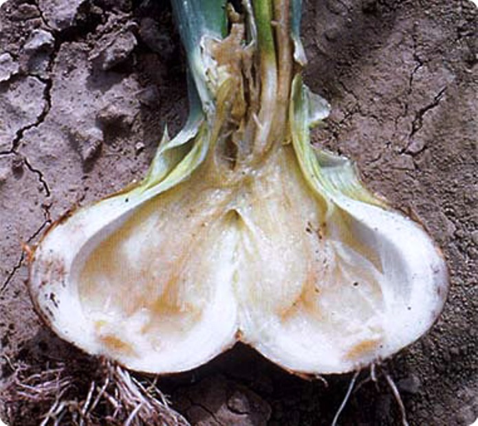 Мягкая или мокрая бактериальная гниль лука