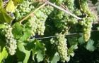 Сорт винограда: Мюллер тургау