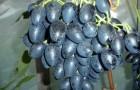 Сорт винограда: Надежда азос