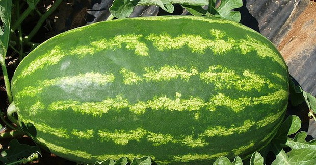 Сорт арбуза: Нельсон   f1