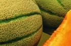 Сорт дыни: Необычайная f1