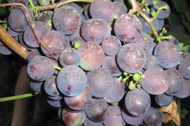 Сорт винограда: Нептун