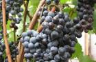 Сорт винограда: Новоукраинский ранний
